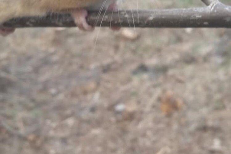 Волинянка натрапила в лісі на рідкісного звіра (Фото)