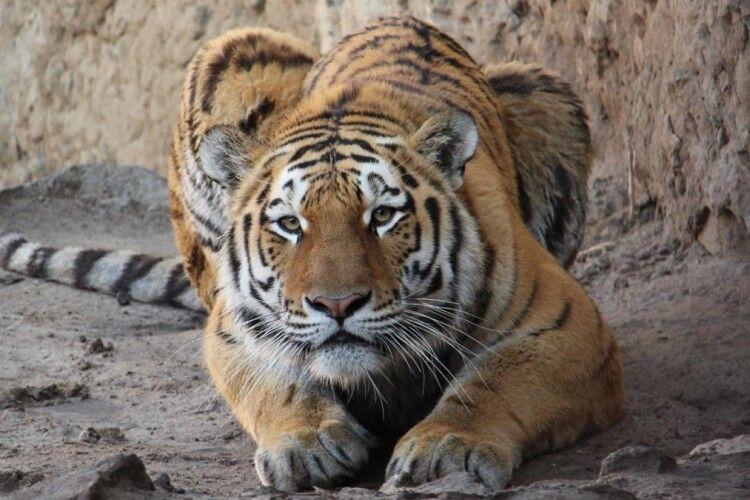 Український тигр Єлисей відсвяткував день народження (Фото)