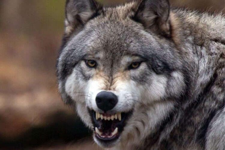 Киянка тримала у маленькій квартирі… лисиць та вовків!