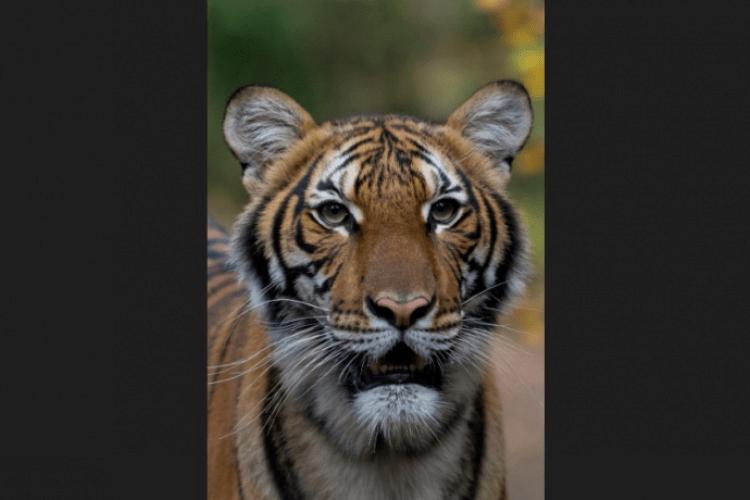 У тигра в зоопарку знайшли коронавірус
