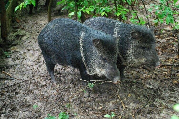 У Рівному латиноамериканські свині відсвяткували новосілля (Фото)