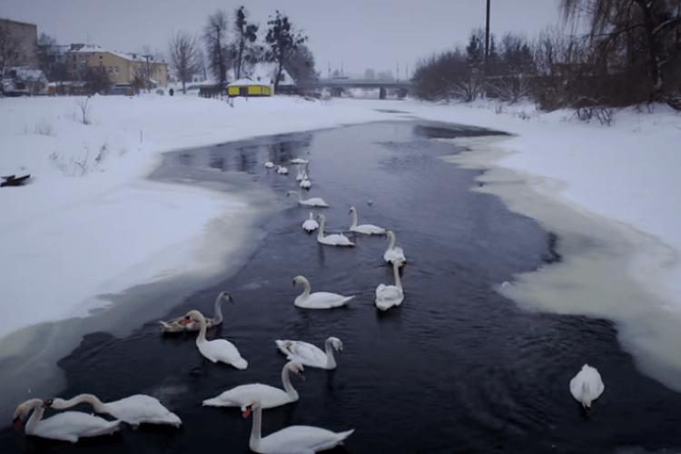 Волинянин показав, як зимують лебеді на замерзлій Турії (Відео)