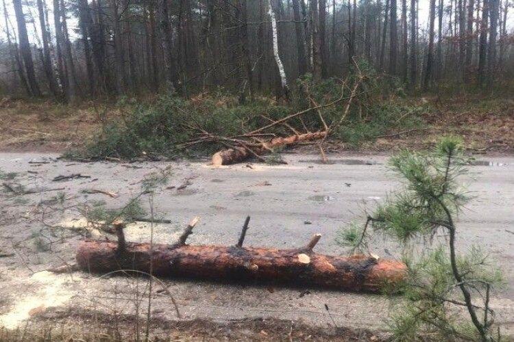 На Волині злочинці зрізали 11 сосен, щоб перекрити дорогу лісоохороні