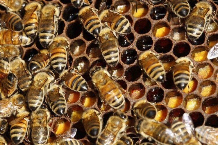 На Волині агресивні п'яні бджоли атакують чужі вулики