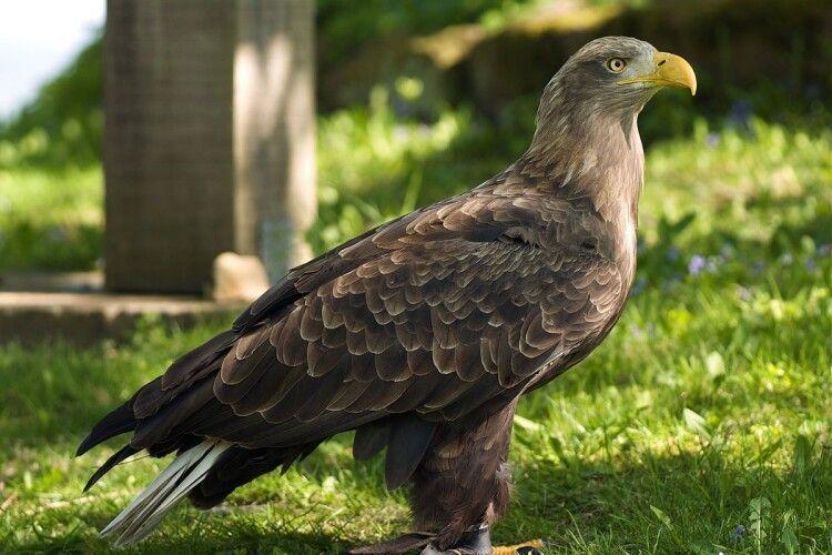 У Луцькому зоопарку оселився орлан-білохвіст зі складною долею