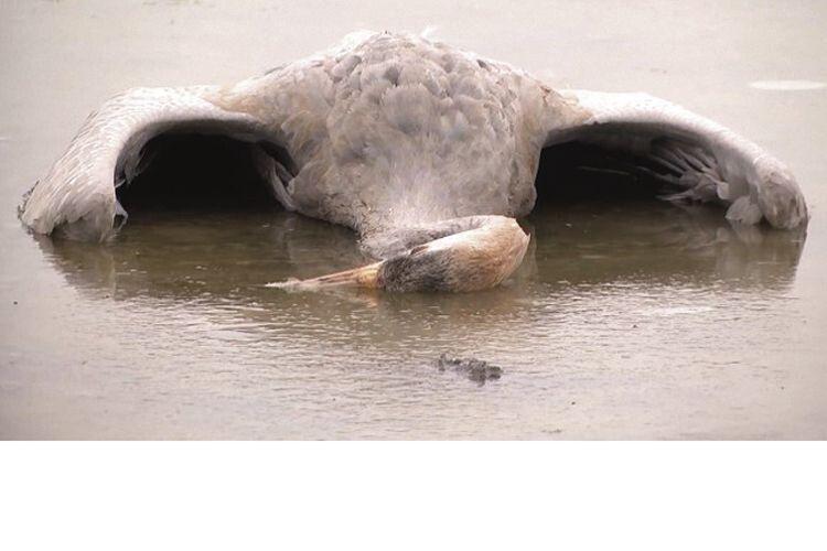 Агронома зХерсонщини судитимуть заотруєння 185червонокнижних журавлів