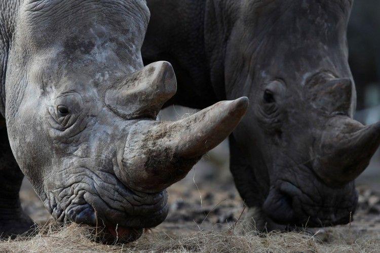 Бельгійські носороги стануть «нособезрогами» – аби захиститися від браконьєрів