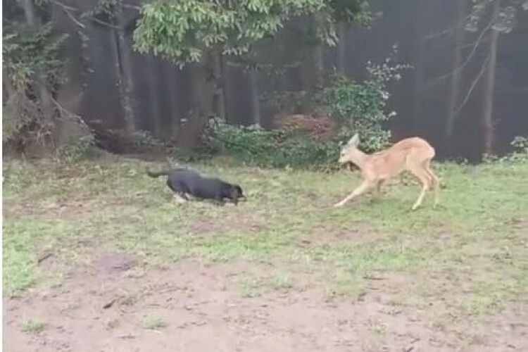 У Карпатах зазнімкували, як дике оленятко гралося із собакою (Відео)