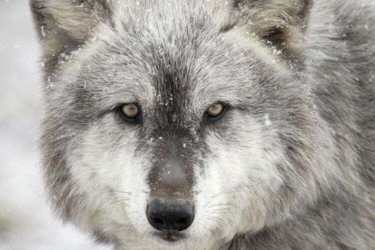 Селище на Прикарпатті атакують голодні вовки