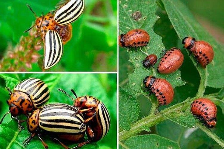 В Україні зникають колорадські жуки