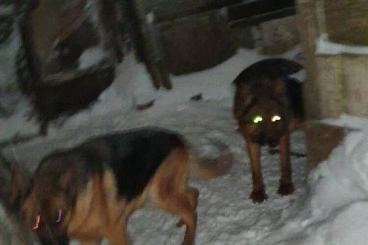 На подвір'ї волинянина виявили 12 вівчарок: серед них може бути ваш собака (Фото)