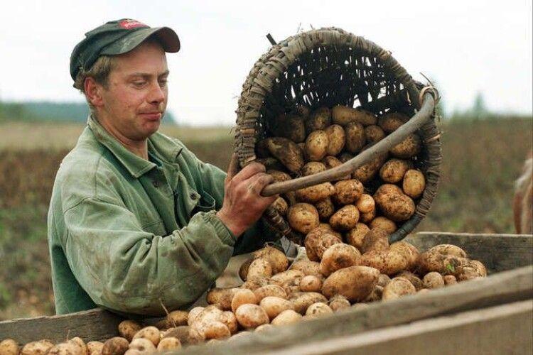 Дешева польська картопля хлинула на український ринок