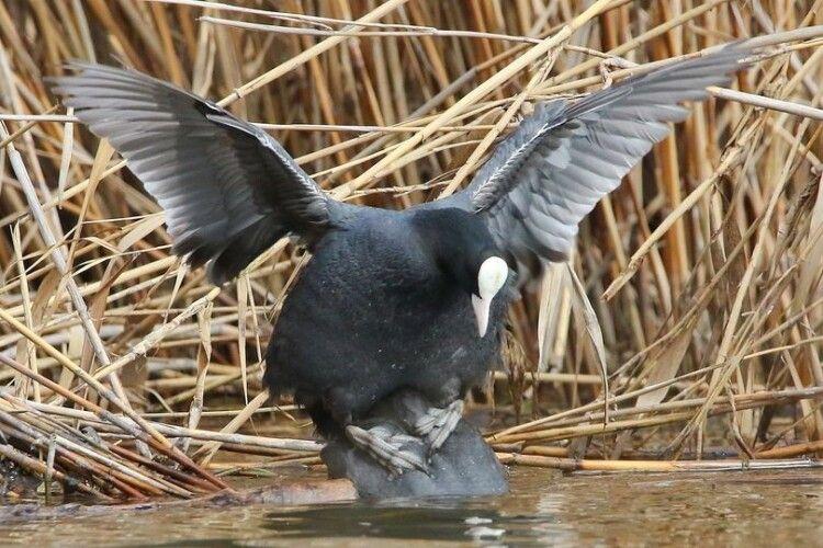Камасутра відпочиває: фотомисливець зазнімкував карколомний секс водоплавних птахів