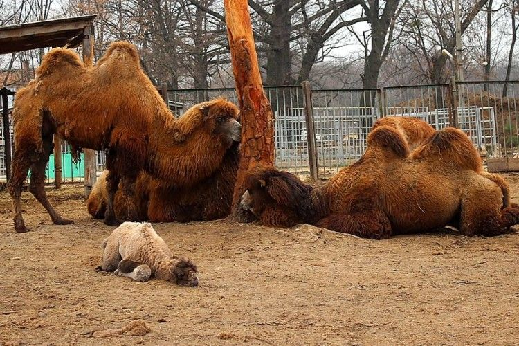 У Харківському зоопарку шукають ім'я для дитятка-верблюденятка (фото)