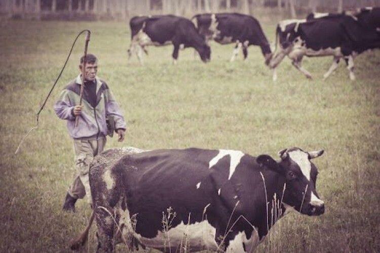 Можна обійтись і без корови: на  Волині господарства населення стрімко скорочують виробництво