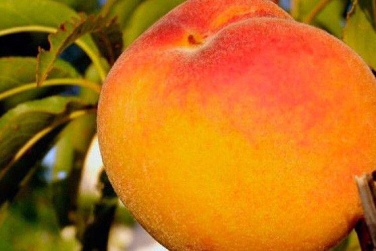На Волині фермер виростив півкілограмові персики