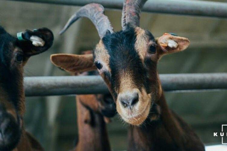 Україна нарощує експорт овець та кіз живцем