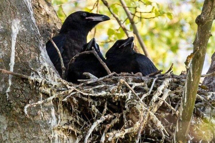 У крука з кручихою вже підростають пташенята-крученята