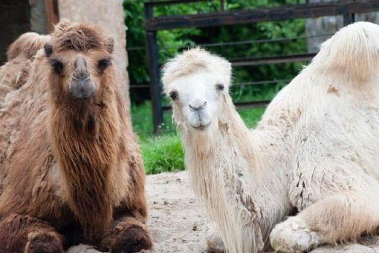 Завтра рівнян кличуть у зоопарк – подивитися, як обідають верблюди