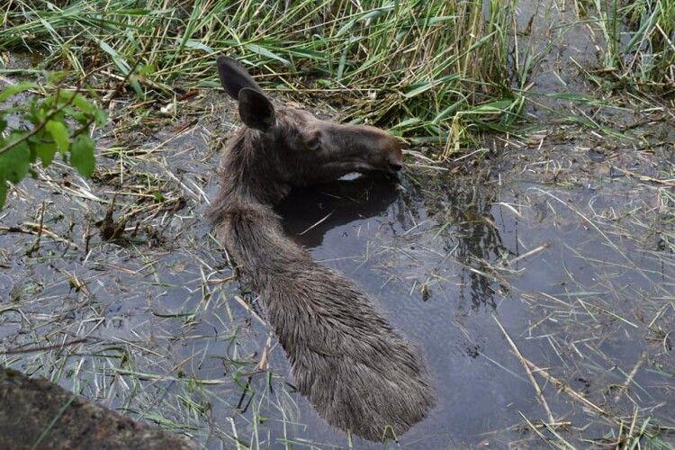 На Рівненщині врятували з пастки лосиху (Фото)
