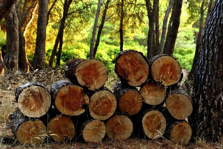 На Волині під час незаконної порубки лісу чоловіка вбило дерево