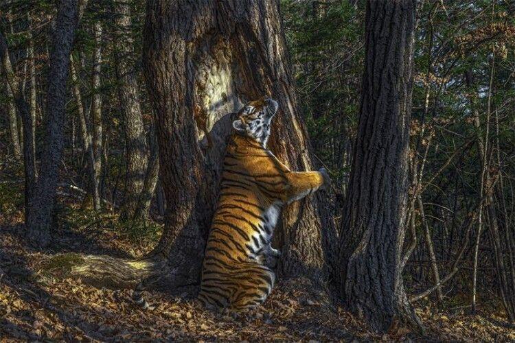 Тигриця обіймає дерево. Найкраще фото дикої природи 2020
