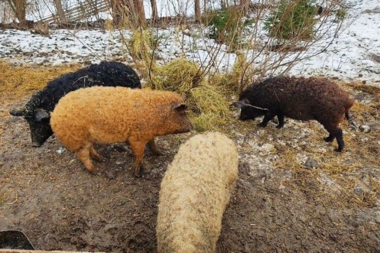 Кучеряві свині оселилися над Лугою на Волині (Фото)