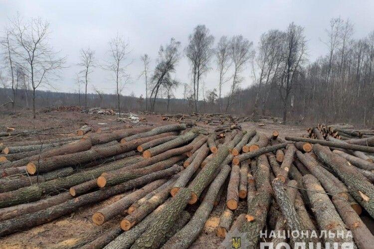 У селі на Волині виявили незаконну порубку лісу (Відео)