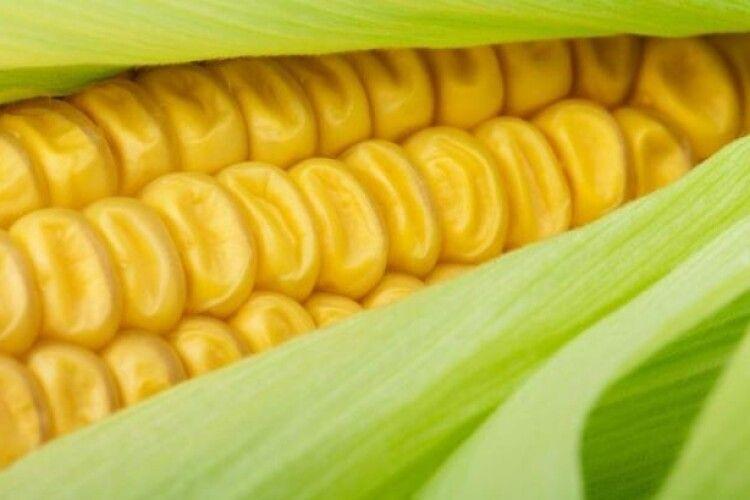 Іспанські фермери починають вирощувати кукурудзу в теплицях