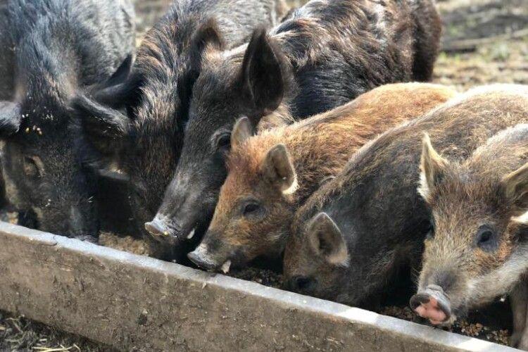 Лісівники Ратнівщини розводять диких кабанів (Фото)