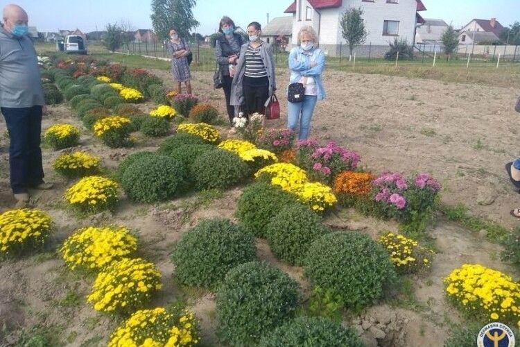 На Волині родина біля дому насіяла 80 сортів хризантем (Фото)