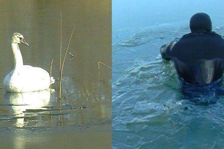 У Луцьку врятували родину лебедів, які примерзли до криги (відео)