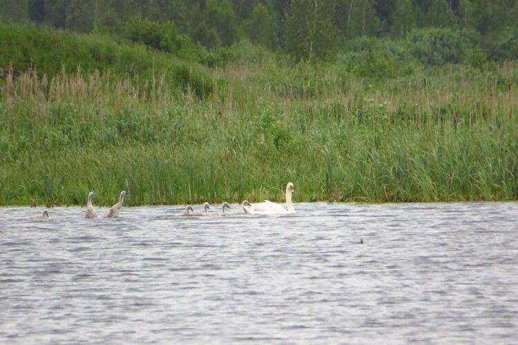 Біля Журавичів бачили багатодітного лебедя-шипуна (фото)