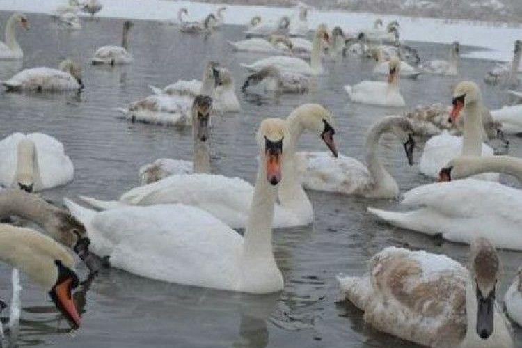 На озері на Старовищівщині гинуть лебеді