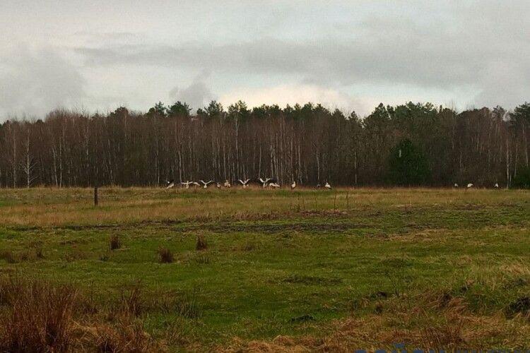 Волинянка вперше в житті побачила в полі велику зграю лелек (Фото)