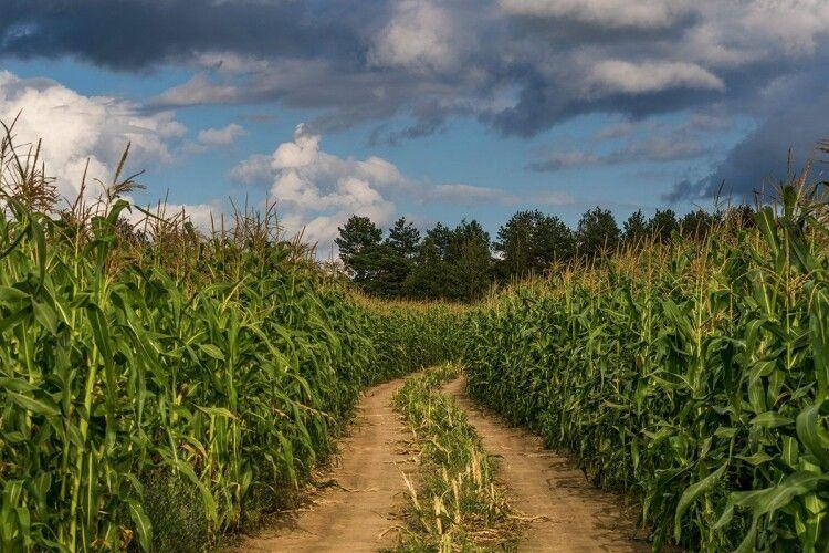 37-річний рівненський рецидивіст задушив і зокопав посеред кукурудзяного поля 79-літнього пенсіонера