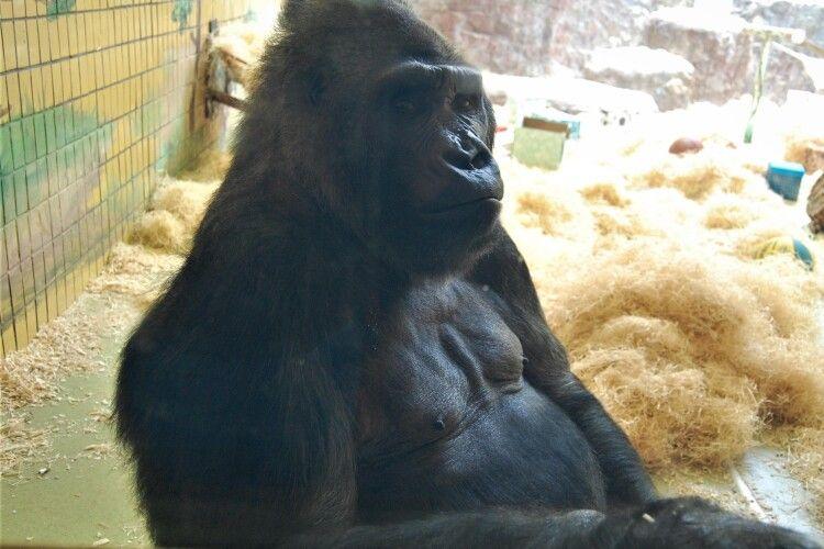 Серйозно захворіла єдина українська горила – Тоні готують до операції