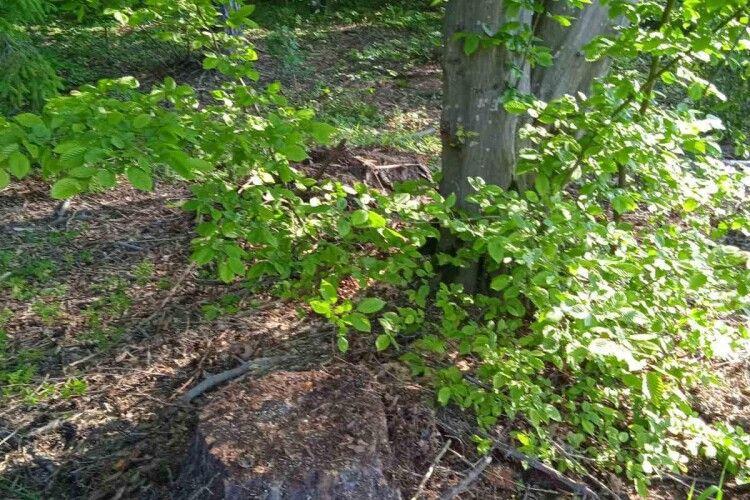 Волинські лісівники знайшли заховану деревину, зрізану тихцем