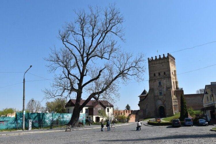 Лесин ясен біля Луцького замку позбавлять статусу пам'ятки природи, а дубові – дадуть