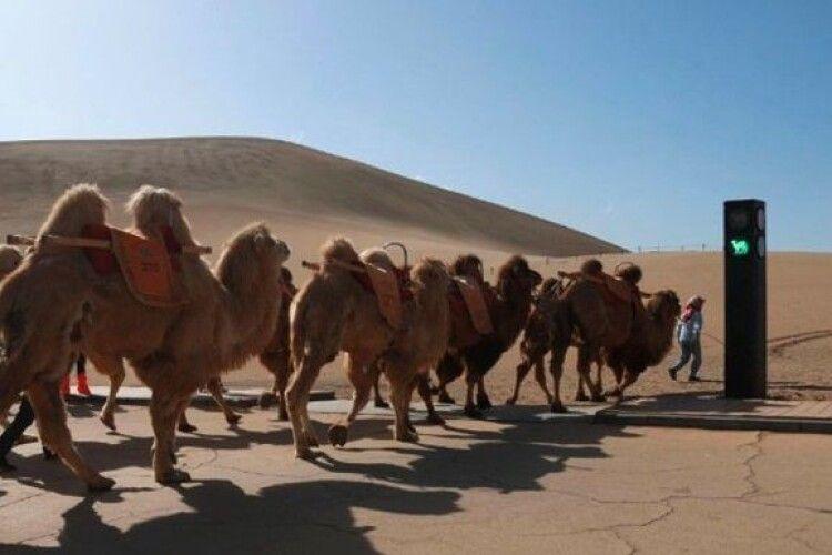 У Китаї з'явився світлофор для верблюдів (Фото)