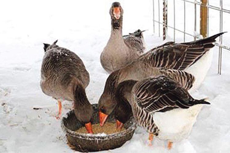 Як треба годувати гусей узимку