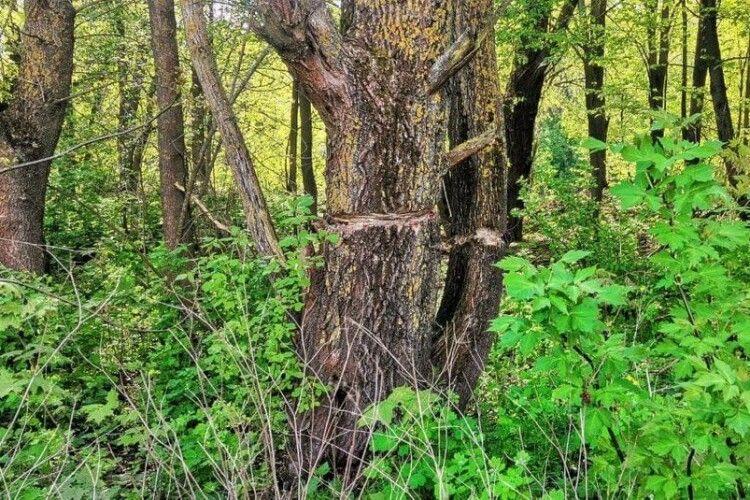Навмисно хочуть знищити: у Луцьку біля Стиру хтось надрубав 20 дерев (Фото)