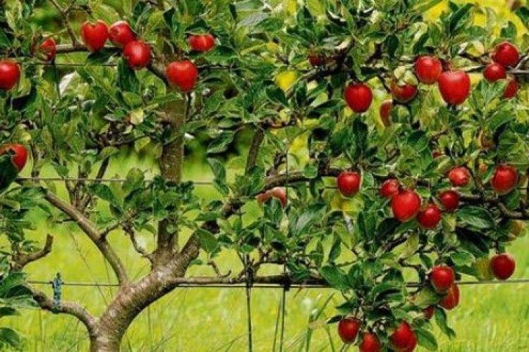 Цьогоріч Польща втратила рекордні врожаї фруктів