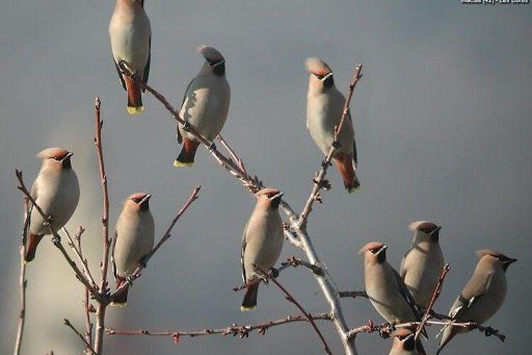 Зимувати в Цуманську пущу прилетіли «п'янички» пташиного світу – омелюхи