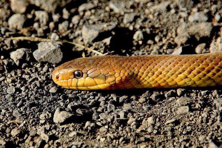 На Рівненщині чоловіка вкусила змія