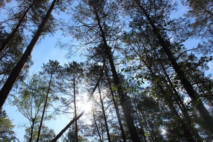 Волинян запрошують в унікальний Бучинський ліс (Фото)