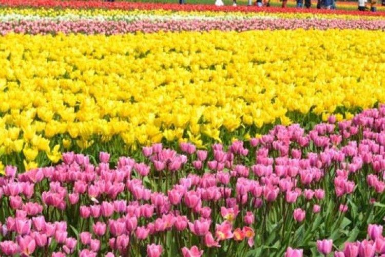 У Вашингтоні - фестиваль тюльпанів (ВІДЕО)