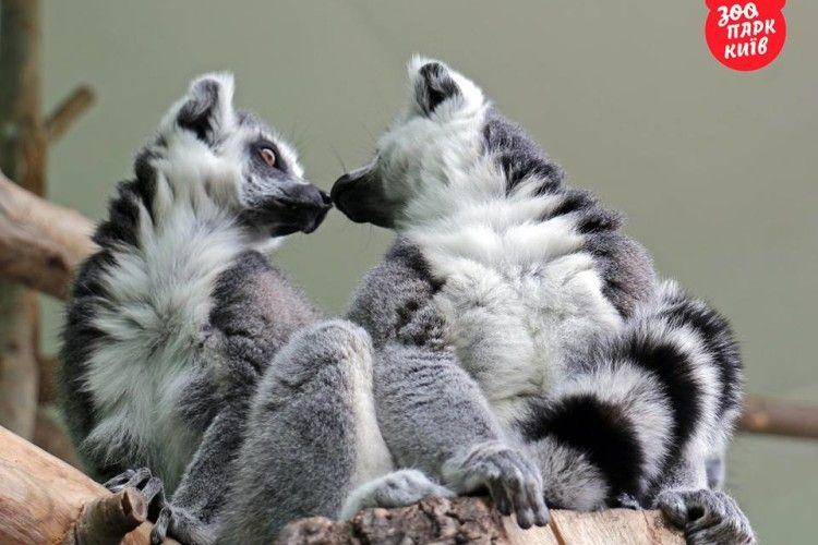 Грандіозна бійка у Київському зоопарку: двоє лемурів «не поділили» красуню-самичку (фото)