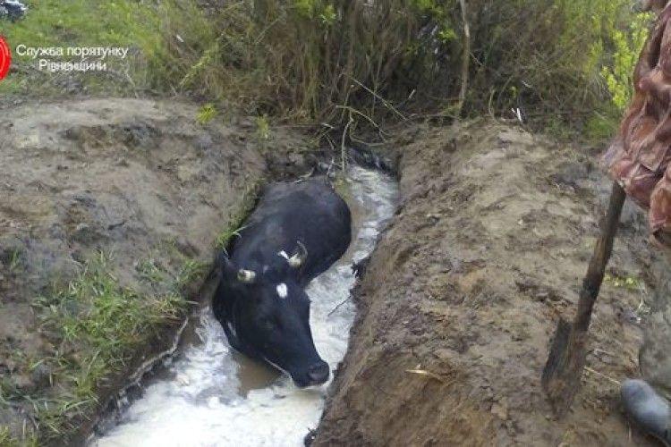 На Рівненщині рятувальники дістали корову з двометрової ями
