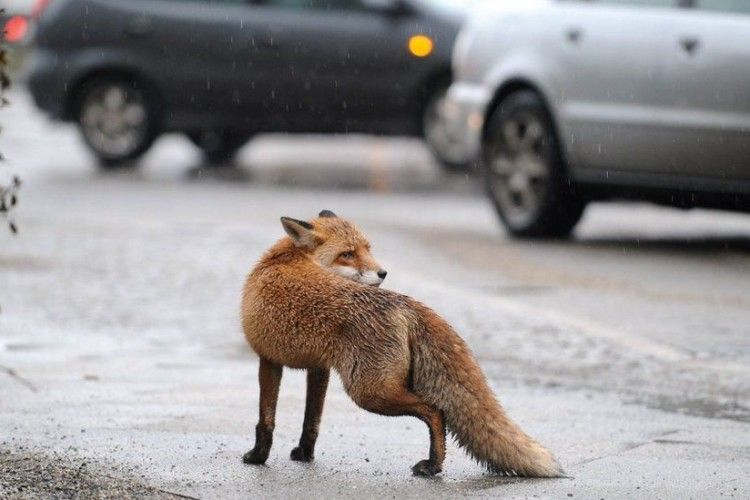 Як в Україні усією мерією ловили… лисицю